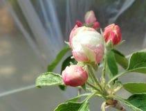 Άνθος της Apple sylvestris Malus Γιαγιάδων Σμίθ κάτω από την πλαστική σκηνή στοκ φωτογραφία