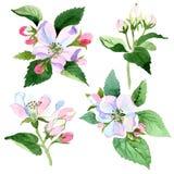 Άνθος της Apple wildflower Floral βοτανικό λουλούδι Απομονωμένο στοιχείο απεικόνισης Στοκ εικόνες με δικαίωμα ελεύθερης χρήσης