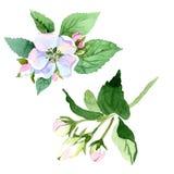 Άνθος της Apple wildflower Floral βοτανικό λουλούδι Απομονωμένο στοιχείο απεικόνισης Στοκ Εικόνα