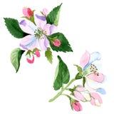 Άνθος της Apple wildflower Floral βοτανικό λουλούδι Απομονωμένο στοιχείο απεικόνισης Στοκ Εικόνες