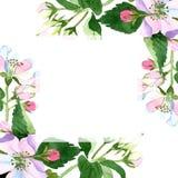 Άνθος της Apple wildflower Floral βοτανικό λουλούδι Τετράγωνο διακοσμήσεων συνόρων πλαισίων Στοκ Φωτογραφίες