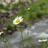 Άνθος της Daisy σε ένα πράσινο υπόβαθρο Στοκ Εικόνες