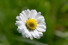 Άνθος της Daisy στοκ εικόνες