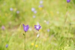Άνθος του άγριου λουλουδιού το καλοκαίρι στα βουνά Αυστρία Στοκ Εικόνα
