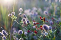 Άνθος του άγριου λουλουδιού στον τομέα Στοκ Εικόνες