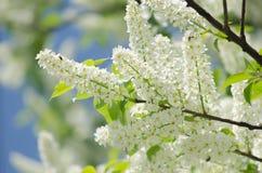 Άνθος του δέντρου πουλί-κερασιών Στοκ φωτογραφία με δικαίωμα ελεύθερης χρήσης