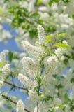 Άνθος του δέντρου πουλί-κερασιών Στοκ φωτογραφίες με δικαίωμα ελεύθερης χρήσης