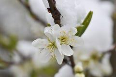 Άνθος του δέντρου αχλαδιών με το χιόνι Στοκ Εικόνες