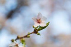 Άνθος του ιαπωνικού serrulata Prunus δέντρων κερασιών Στοκ Εικόνα