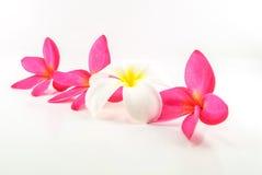 Άνθος του λουλουδιού Plumeria Στοκ εικόνες με δικαίωμα ελεύθερης χρήσης
