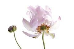 Άνθος του anemone πτώσης (japonica Anemone), κινηματογράφηση σε πρώτο πλάνο Στοκ φωτογραφία με δικαίωμα ελεύθερης χρήσης