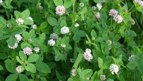 Άνθος τριφυλλιού σε έναν τομέα το καλοκαίρι Trifolium μέσο ημέρα ηλιόλουστη απόθεμα βίντεο