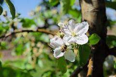 Άνθος των δέντρων μηλιάς στην άνοιξη - γονιμοποίηση Στοκ φωτογραφίες με δικαίωμα ελεύθερης χρήσης