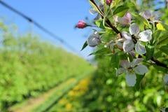 Άνθος των δέντρων μηλιάς στην άνοιξη - γονιμοποίηση Στοκ Εικόνα