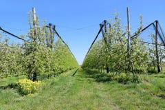 Άνθος των δέντρων μηλιάς στην άνοιξη Στοκ εικόνες με δικαίωμα ελεύθερης χρήσης