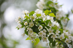 Άνθος των δέντρων μηλιάς Στοκ φωτογραφία με δικαίωμα ελεύθερης χρήσης