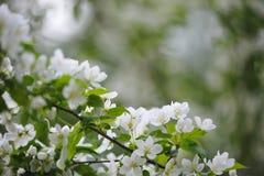Άνθος των δέντρων μηλιάς Στοκ Εικόνες