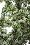Άνθος των δέντρων μηλιάς Στοκ Εικόνα