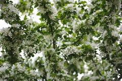 Άνθος των δέντρων μηλιάς Στοκ Φωτογραφία