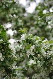 Άνθος των δέντρων μηλιάς Στοκ φωτογραφίες με δικαίωμα ελεύθερης χρήσης