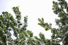 Άνθος των δέντρων μηλιάς Στοκ εικόνες με δικαίωμα ελεύθερης χρήσης