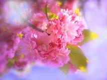 Άνθος των δέντρων κερασιών λουλουδιών στοκ εικόνα με δικαίωμα ελεύθερης χρήσης