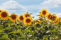 Άνθος των ηλίανθων στον τομέα Καλοκαίρι Μια ηλιόλουστη ημέρα Στοκ φωτογραφία με δικαίωμα ελεύθερης χρήσης