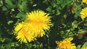 Άνθος των κίτρινων λουλουδιών blowball στην ηλιόλουστη ημέρα άνοιξης φιλμ μικρού μήκους