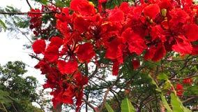 Άνθος των κόκκινων λουλουδιών του μεγάλου δέντρου Delonix Regia απόθεμα βίντεο