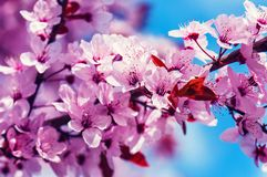 Άνθος φρούτων δαμάσκηνων κερασιών Στοκ φωτογραφίες με δικαίωμα ελεύθερης χρήσης