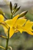 Άνθος «χρυσή νεράιδα» της Apple Iwanagara Στοκ Φωτογραφίες