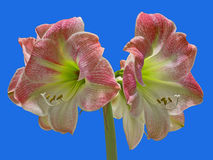 Άνθος Amaryllis της Apple Στοκ Εικόνες