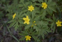 Άνθος Anemone ranunculoides Στοκ Εικόνες