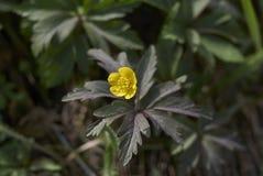 Άνθος Anemone ranunculoides Στοκ Φωτογραφία