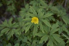 Άνθος Anemone ranunculoides Στοκ Εικόνα