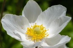 Άνθος anemone Snowdrop - το μεγάλο άσπρο λουλούδι με κίτρινο Στοκ φωτογραφίες με δικαίωμα ελεύθερης χρήσης