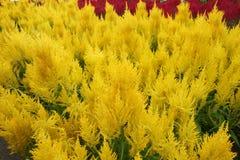 Άνθος argentea Celosia Στοκ εικόνες με δικαίωμα ελεύθερης χρήσης