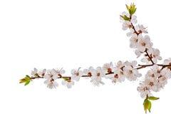 Άνθος brunch που απομονώνεται στο λευκό στοκ εικόνες