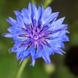 Άνθος Cornflower Στοκ Εικόνες