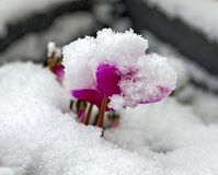 Άνθος Cyclamen με το χιόνι στοκ εικόνα