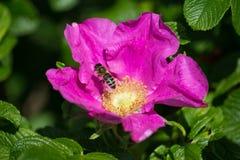 Άνθος Hibiskus με τη μέλισσα Στοκ φωτογραφίες με δικαίωμα ελεύθερης χρήσης