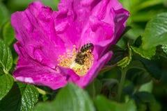 Άνθος Hibiskus με τη μέλισσα Στοκ Εικόνα