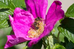 Άνθος Hibiskus με τη μέλισσα Στοκ Φωτογραφίες