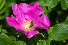 Άνθος Hibiskus με τη μέλισσα Στοκ Εικόνες