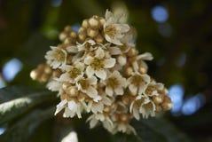 Άνθος japonica Eriobotrya Στοκ εικόνα με δικαίωμα ελεύθερης χρήσης