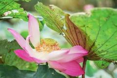 Άνθος Lotus με την ομορφιά στοκ εικόνες με δικαίωμα ελεύθερης χρήσης