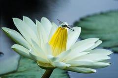 Άνθος Lotus με τη μύγα δράκων Στοκ φωτογραφία με δικαίωμα ελεύθερης χρήσης
