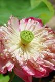 Άνθος Lotus Στοκ φωτογραφία με δικαίωμα ελεύθερης χρήσης