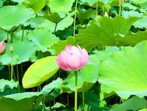 Άνθος Lotus Στοκ Φωτογραφία