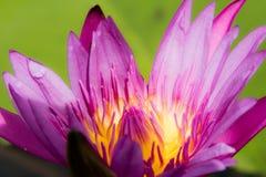 Άνθος Lotus Στοκ Φωτογραφίες